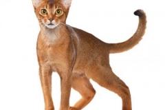 cat_abyssiniansorrel_400x378