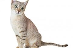 cat_australianmist_400x378