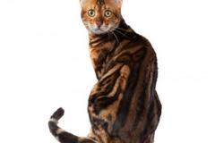 cat_bengal_400x378
