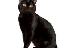 cat_bombay_400x378