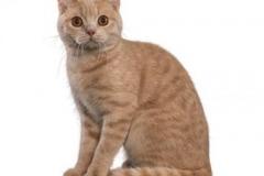 cat_britishshorthair_400x378