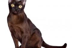 cat_brown_burmese_400x378