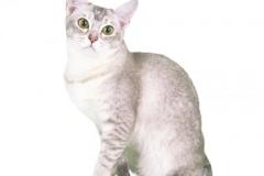 cat_burmilla_400x378