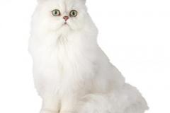 cat_chinchilla_400x378