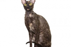 cat_cornishrex_400x378