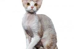 cat_devonrex_400x378