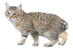 cat_japanesebobtaillonghaired_400x378