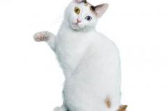 cat_japanesebobtailshorthaired_400x378