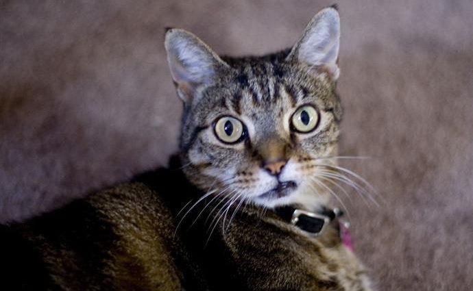 Pourquoi les chats ont-ils l'air de ricaner ?