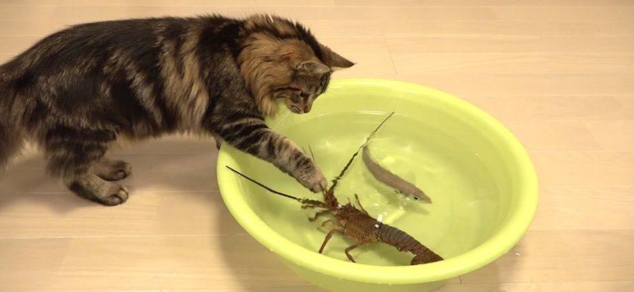 La langouste japonaise contre le chat