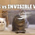 Chats contre mur invisible | Kittisaurus