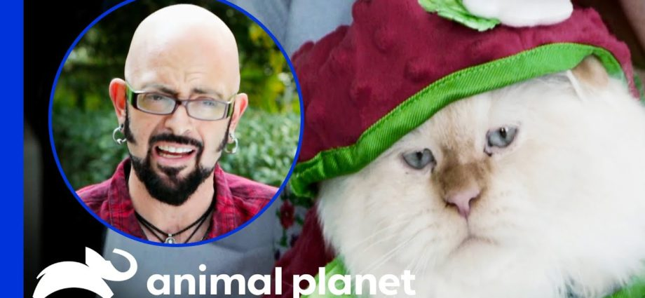 Une propriétaire refuse d'arrêter d'habiller ses chats   Mon chat de l'enfer