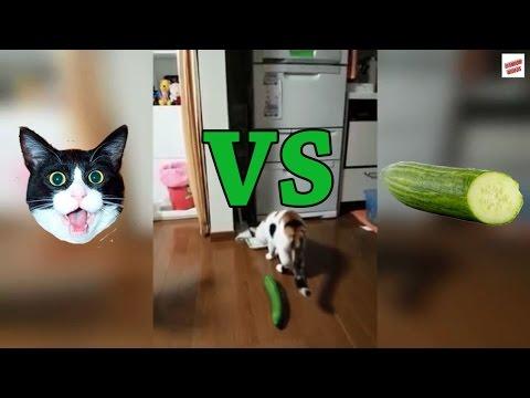 Compilation sur les chats et les concombres