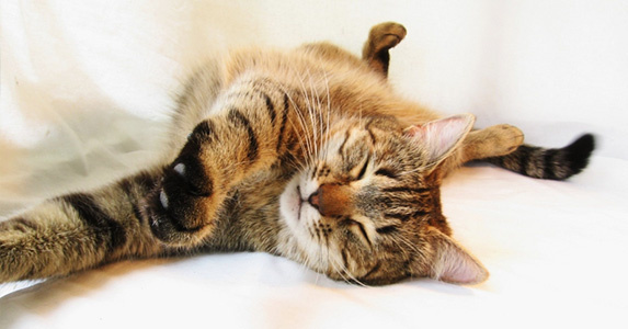 Physiologie et anatomie du chat