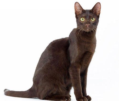 Le chat havana