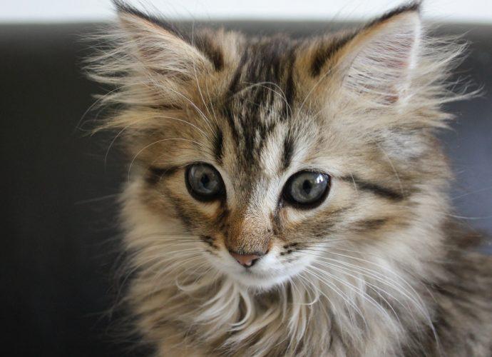 Les cinq races de chats préférées des Français en 2020