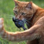 Pourquoi le chat offre-t-il à ses maîtres humains une proie toute fraîche