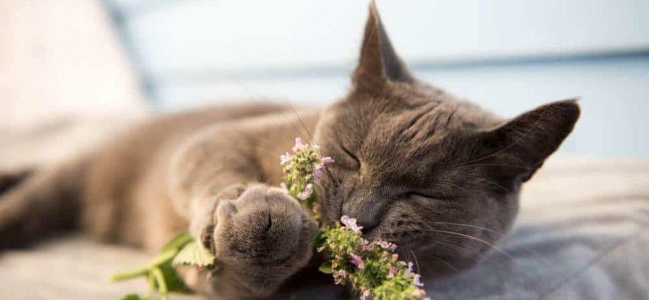 Cataire: qu'est-ce que c'est et pourquoi les chats l'adorent?
