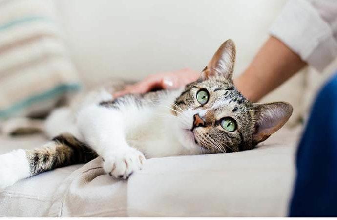 Comment caresser votre chat