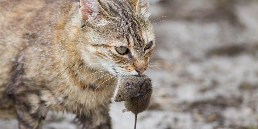 Comment le chat prépare-t-il sa nourriture ?