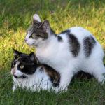 Comment les chats font-il leur cour ?