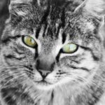 Les chats voient-ils les couleurs ?