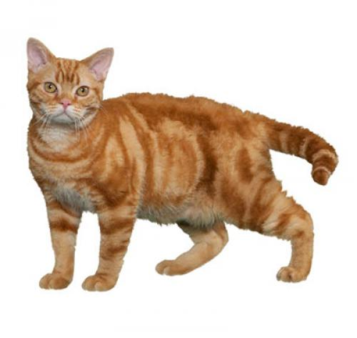 Le chat American Wirehair