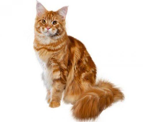 Maine Coon ou chat Maine Shag: La plus grande race de chat