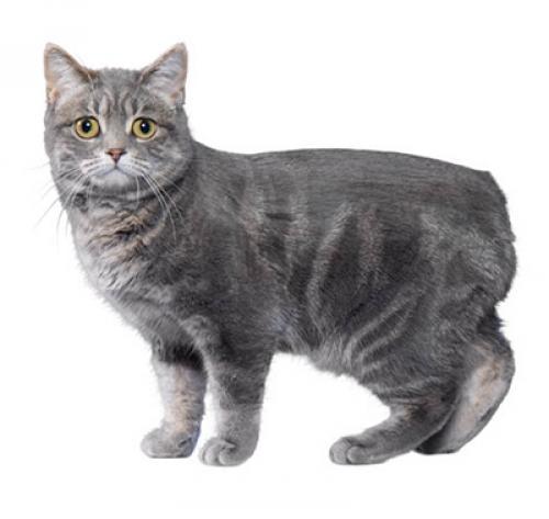Le chat manx ou chat de l'île de Man