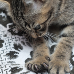 votre chat vous pétrit