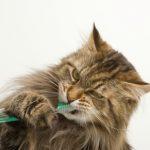 Entretenir les dents et la bouche de son chat