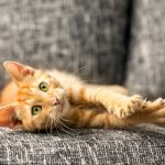 Pourquoi le chat déchire-t-il le tissu de votre fauteuil préféré ?