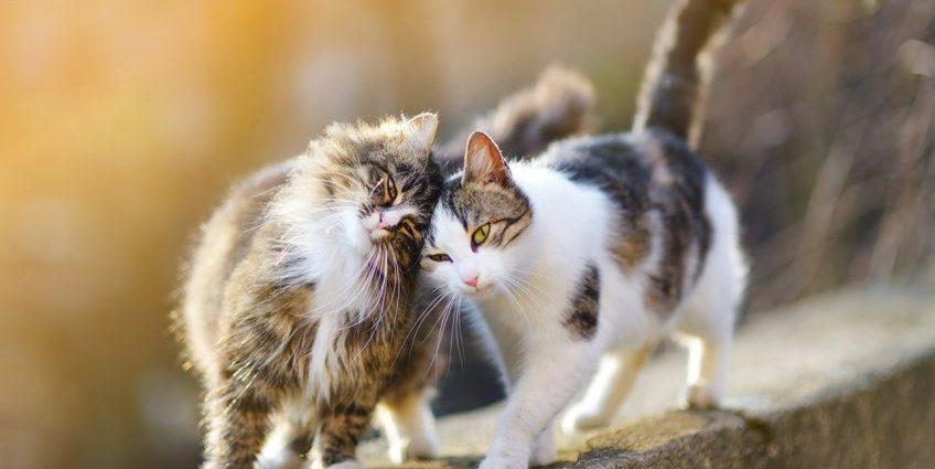 Quand les chats parviennent-ils à la maturité sexuelle ?