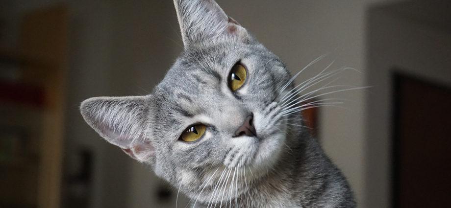 Langage et façon de communiquer des chats