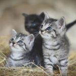 Quelle est la vitesse de croissance de chatons ?