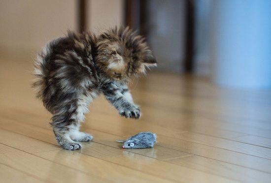 Pourquoi le chaton lance-t-il parfois un objet en l'air quand il joue ?