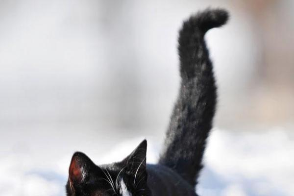 Pourquoi le chat remue-t'il la queue ?