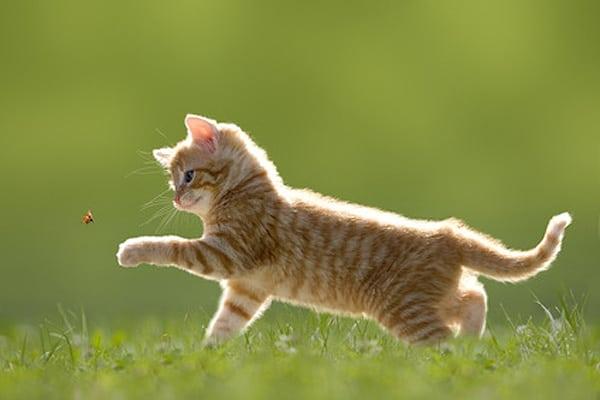 Comment les chatons apprennent-il à chasser et tuer leur proie ?