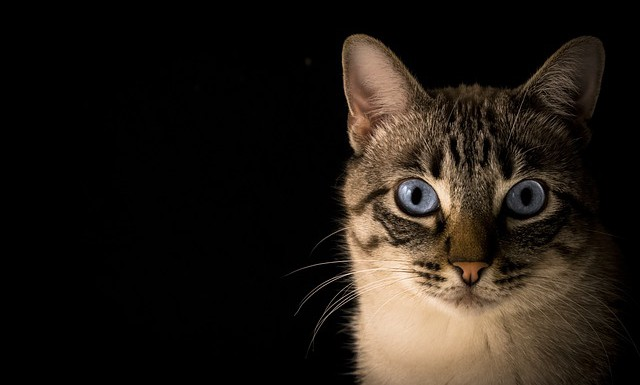 Une petite histoire du chat