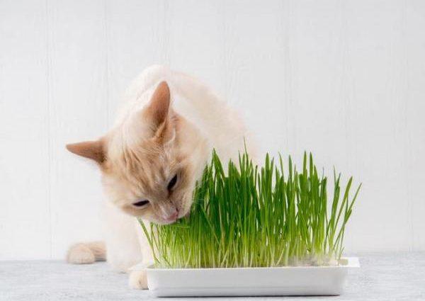 Pourquoi l'herbe-aux-chats provoque-t-elle une réaction aussi vive de la part des chats ?