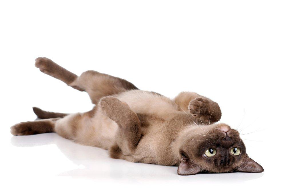 Pourquoi le chat se met-il sur le dos quand il vous voit ?