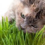 Pourquoi les chats mangent-il de l'herbe ?