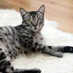 Combien de temps durent les chaleurs de la chatte?