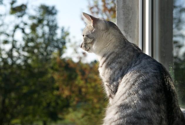 Pourquoi le chat remue-t-il la queue quand il chasse un oiseau sur la pelouse ?