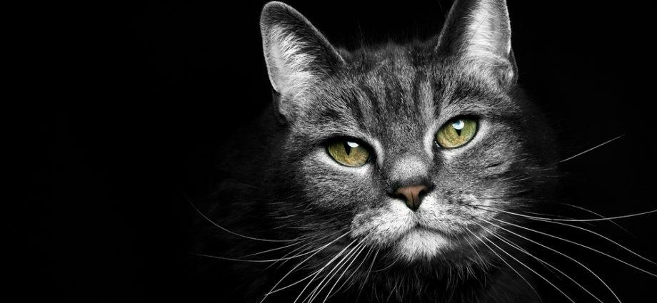 Les chats perdent-ils leurs moustaches ? Est-ce normal ?
