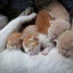 Pourquoi les chatons ne se chamaillent-ils quand ils tètent leur mère ?