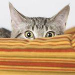 fausses idées sur le chat