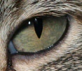 Comment le chat voit il la nuit ?